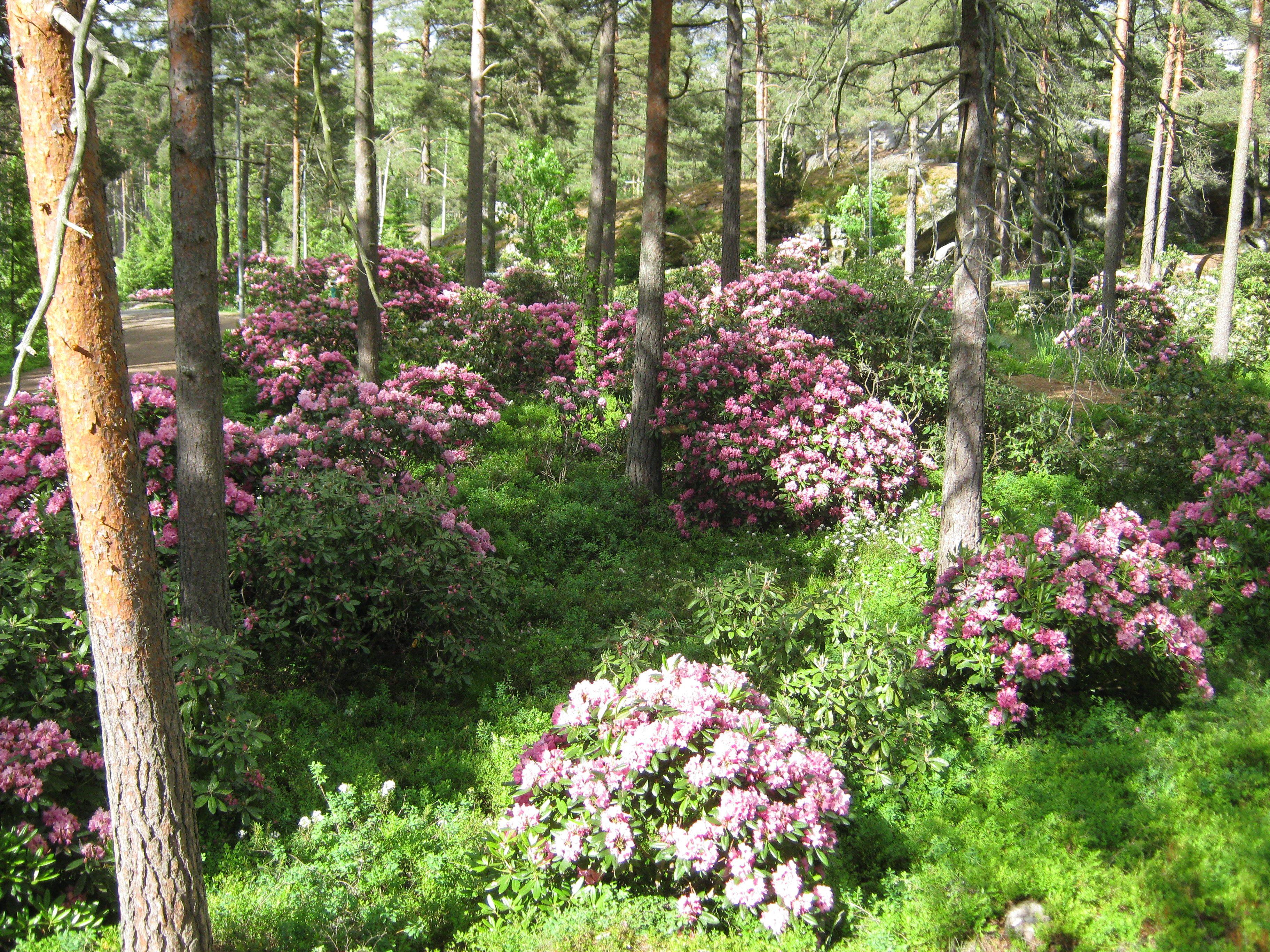 Alppiruusuja. Metsä kukkii Raisiossa.