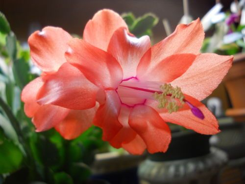 Christmas Cactus by ocean*treats @eBay #FOLLOWITFINDIT Christmas
