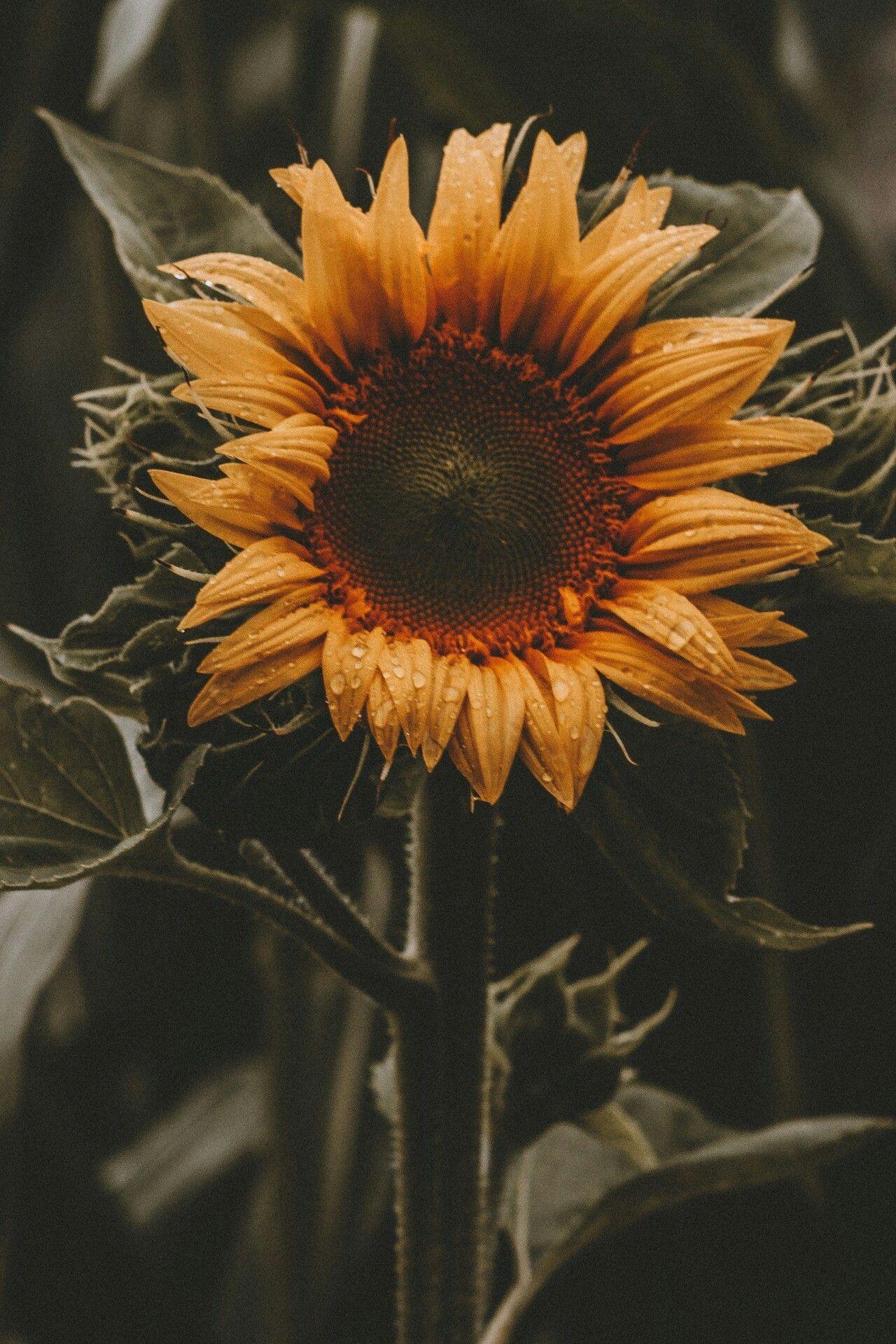 Pin by abood xb on bx Sunflower wallpaper, Sunflower