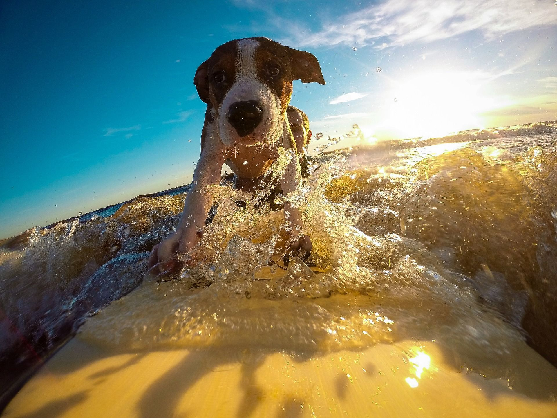 Champion Tandem Surfer Unofficially Breaks The Record For Most Dogs On A Surfboard Dog Friendly Vacation Heat Stroke In Dogs Pet Safety
