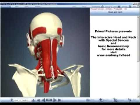 Human Anatomy Course Primal Pictures 3d Head And Neck Anatomy With