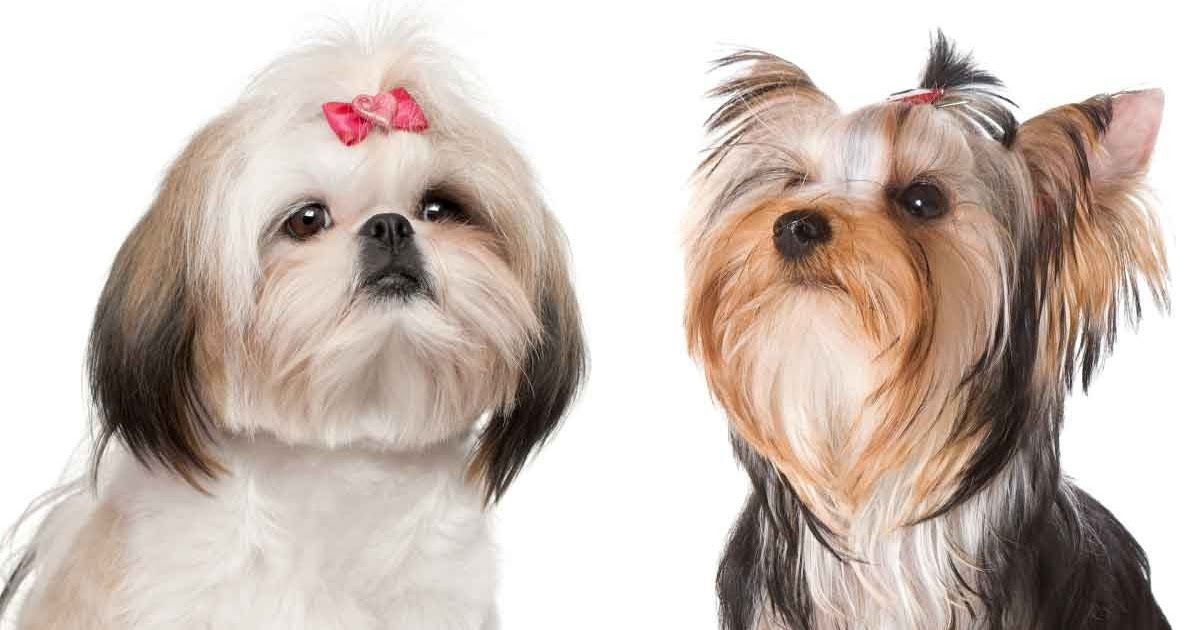 Shih Tzu Vs Yorkie Which Makes The Better Pet Morkie Puppies For