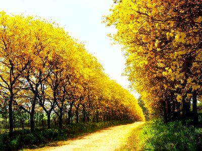 …………Não há quem resista a uma paisagem como essa daí de cima. Além de lindo o Ipê Amarelo é uma árvore que realça a beleza do local atribuindo a ele alegria e cor.