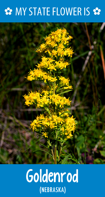 Nebraska S State Flower Is The Goldenrod What S Your State Flower