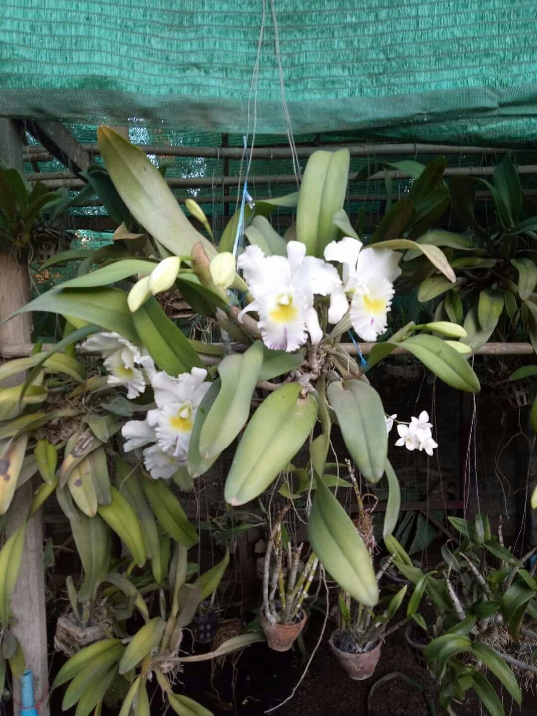 Pin By Flowers In Heart On Cattleya Orchids Cattleya Orchid