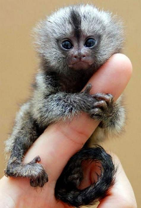 What is a Finger Monkey? | Pet monkey, Cute animals, Cute baby animals