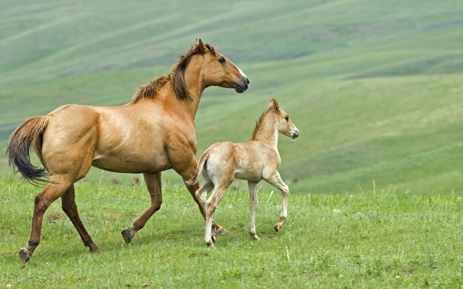 moving backgrounds of horses in background for desktop | animal