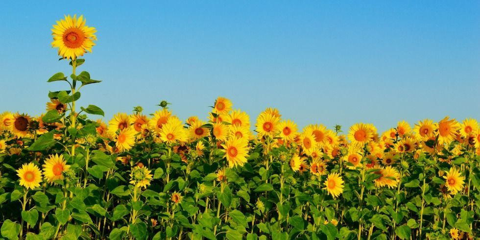9 Cool Things You Might Not Know About Sunflowers Sunflower Garden Sunflower Facts Mammoth Sunflower