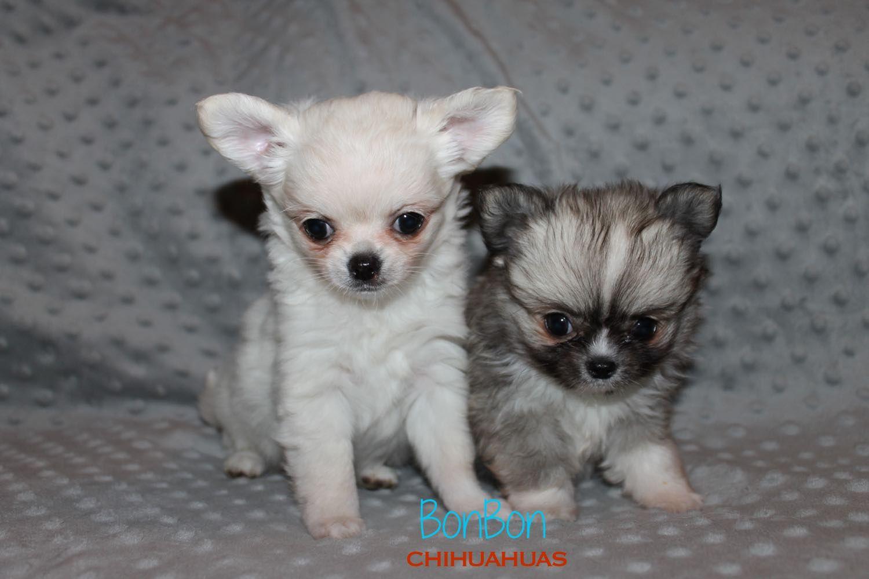 Chihuahua Puppies For Sale Anjing Chihuahua Anak Anjing Anjing