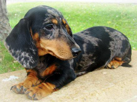 The Dachshund Meaning Badger Dog In German Is A Lively Breed