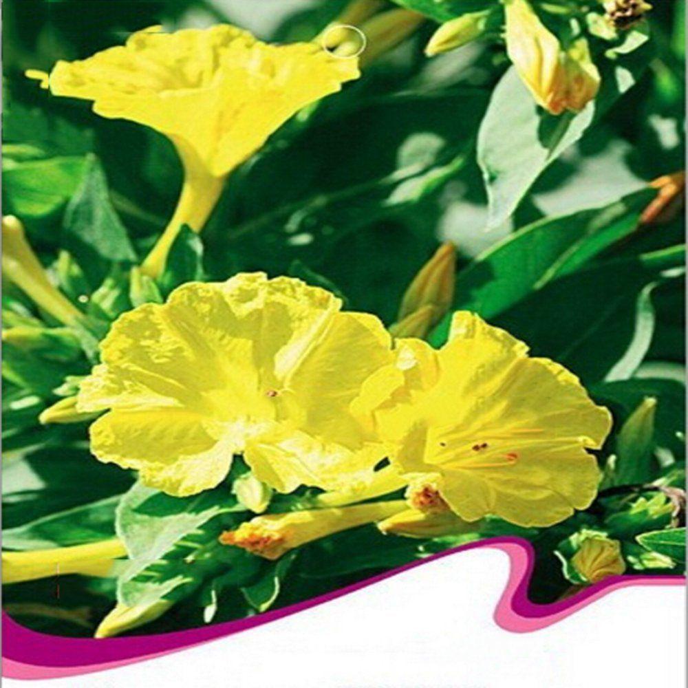 Amazon Best Garden Seeds Rare Flowers Yellow Jasmine Seeds 20