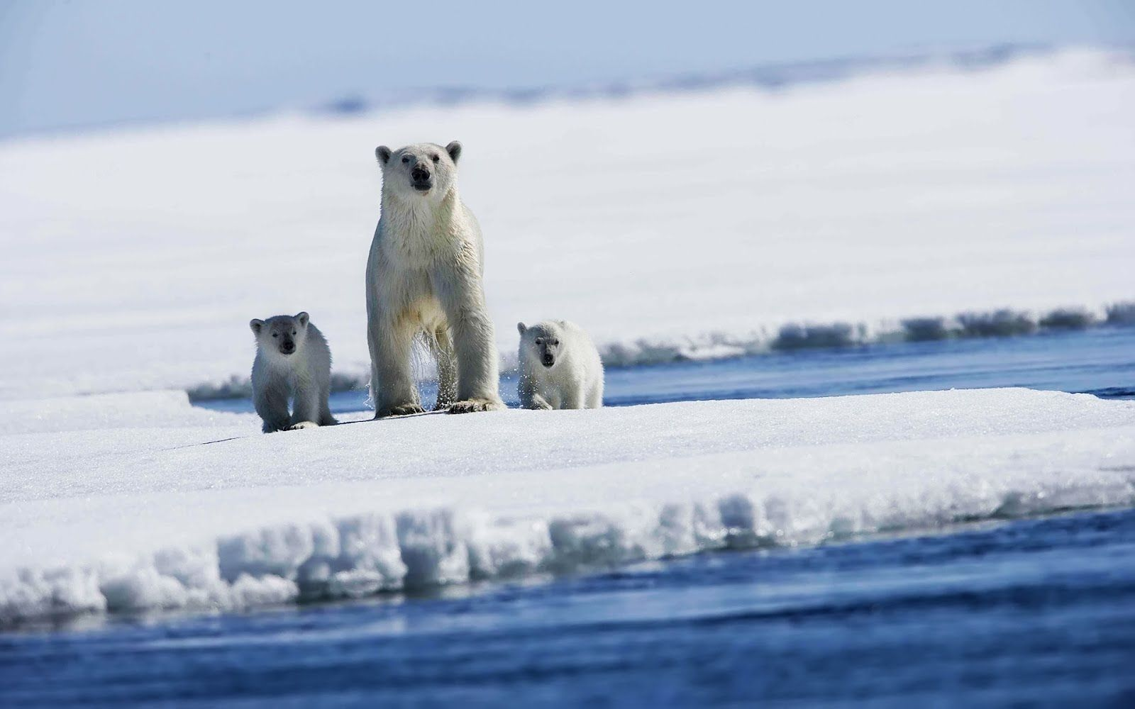 Polar Bears - Osos Polares