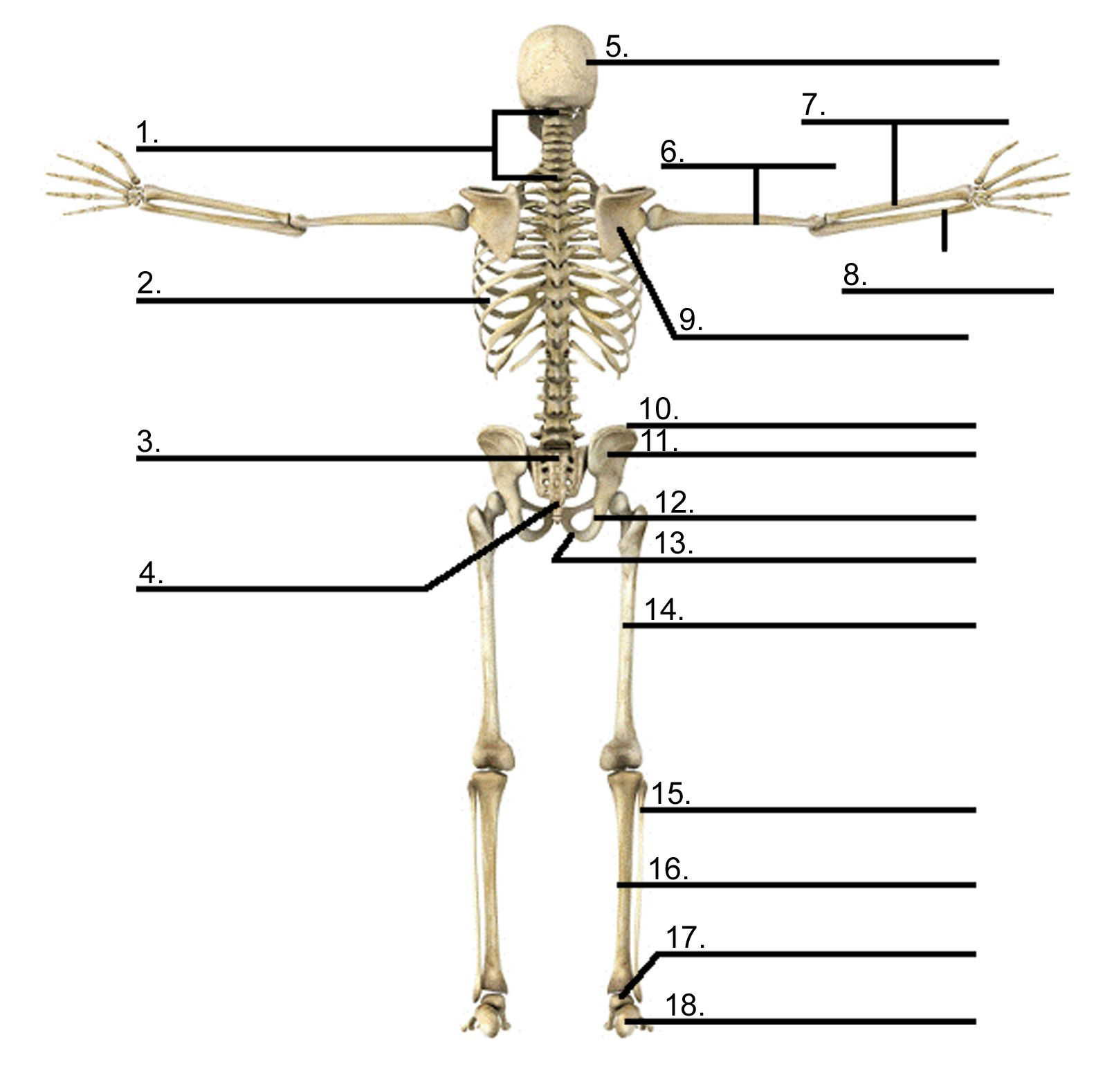 Human Skeleton Pictures With Labels