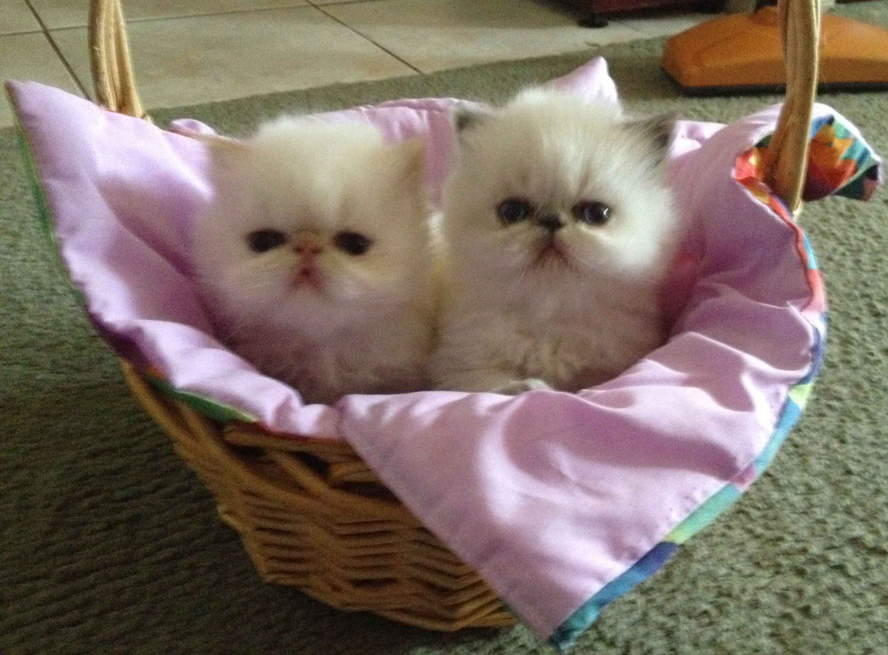 2 Cute Himalayan Persian Kittens for Sale in NSW www