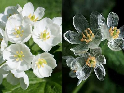 Diphylleia Grayi Otherwise Known As The Skeleton Flower Is The Stuff