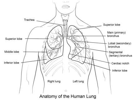 Human Lungs Coloring Page Human Lungs Lunges Coloring Pages