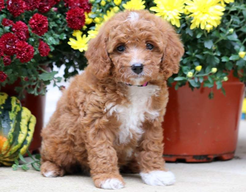 Mitsy Cavapoo Puppy For Sale Keystone Puppies Cavapoo Puppies Cavapoo Puppies For Sale Puppies Near Me