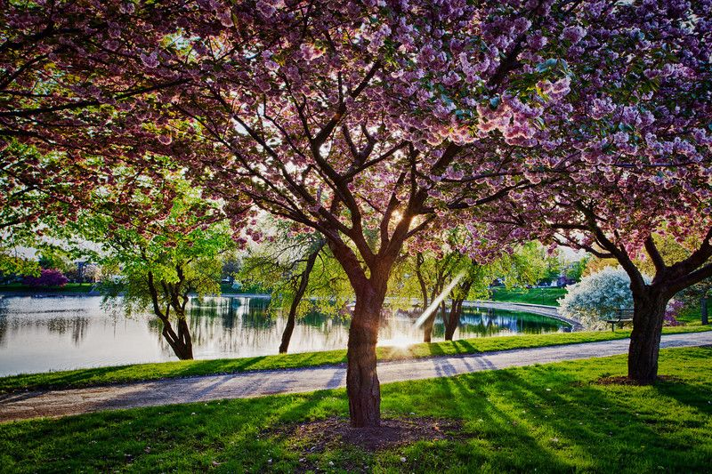 Lake Anna Cherry Blossom Festival Barberton Cuyahoga Falls Places To Go Akron Ohio