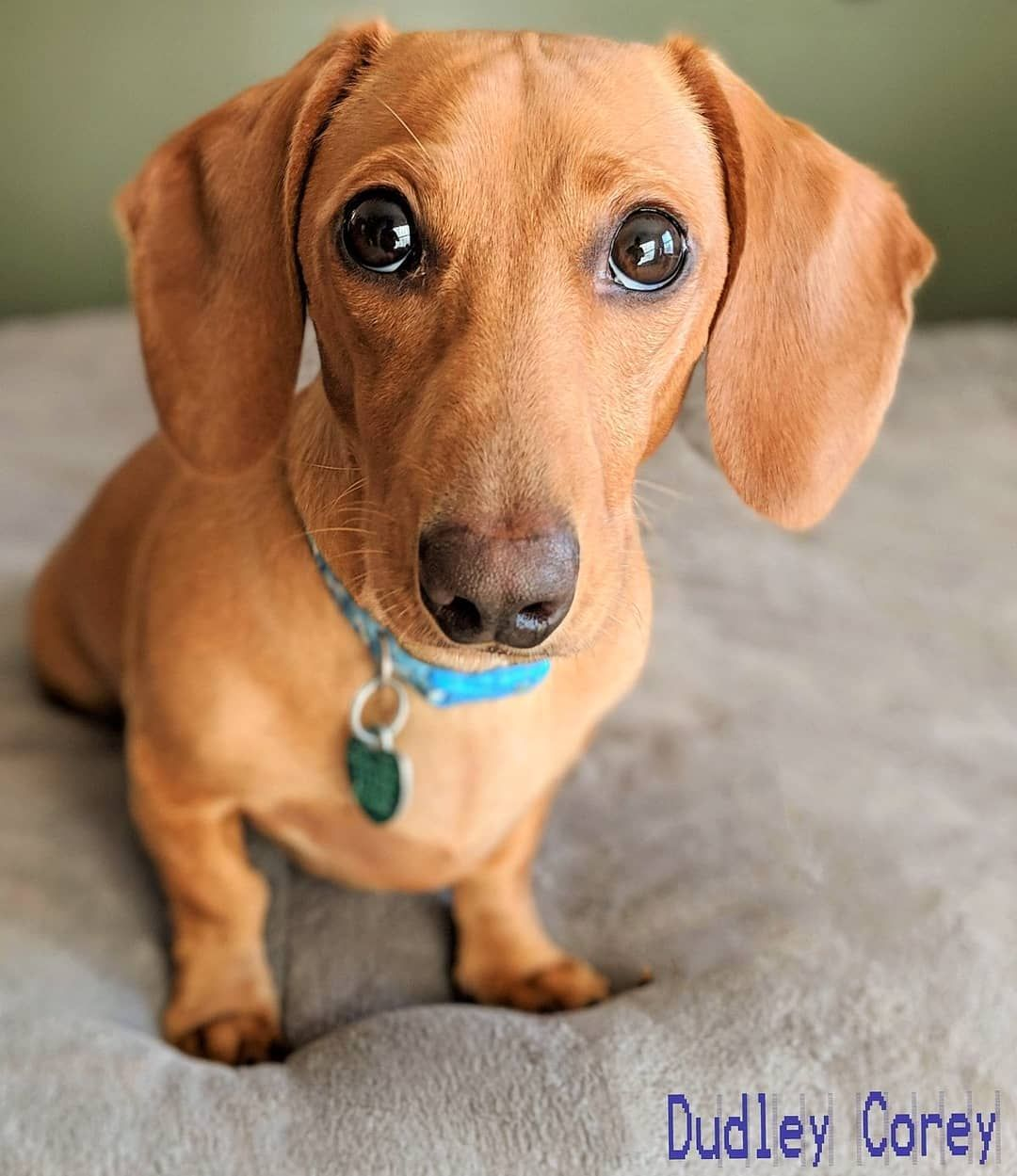Dudley Corey The Little Brown Dachshund Dogstagram