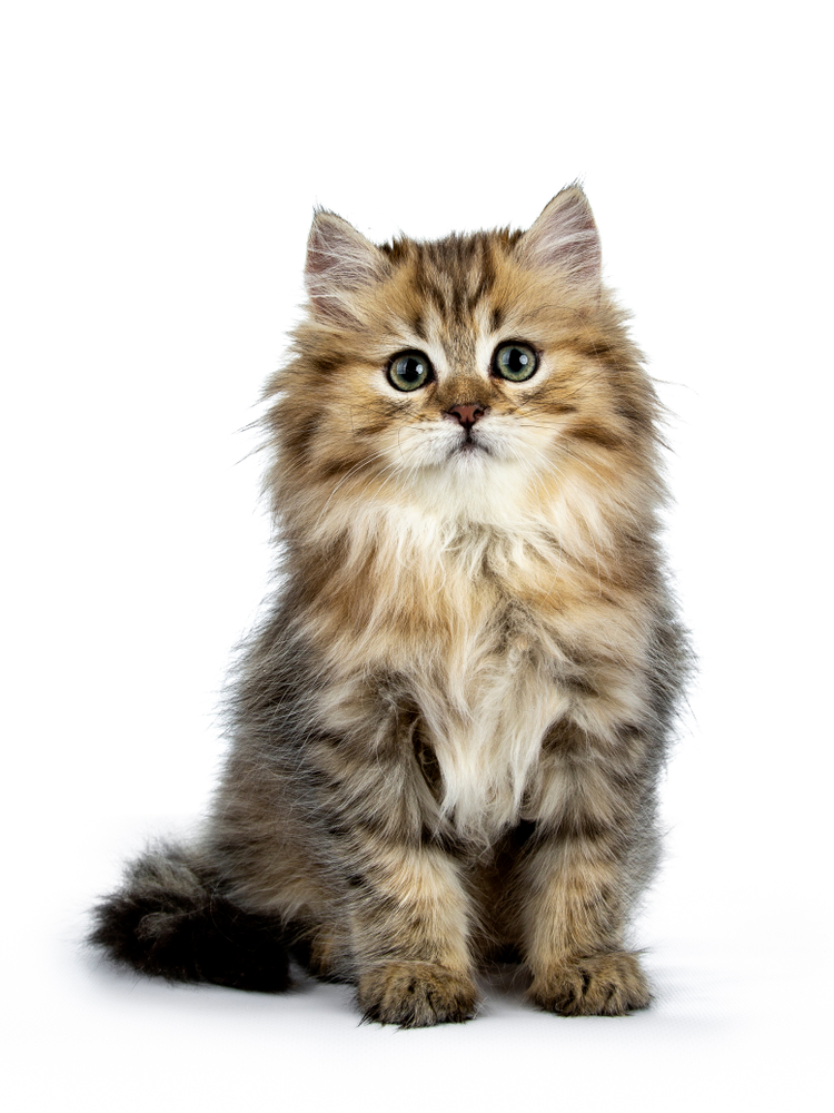100 Kitten Images Wallpaper Pictures For Free Download In Hd Kitten Images Cats And Kittens Kitten Wallpaper