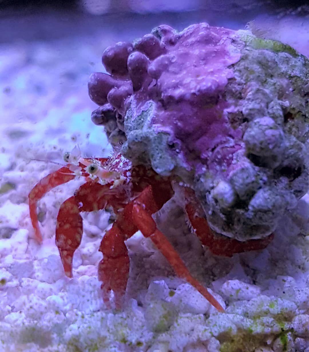 Closeup 4 Scarlet Hermit Crab Look At That Coraline Buildup Mixedreef Nanoreef Saltwateraquariums Liverock Mari Hermit Crab Crab Saltwater Fish Tanks