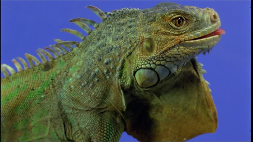 552228963-green-iguana-head-anatomy-wild-animal-animals-in-the-wild ...