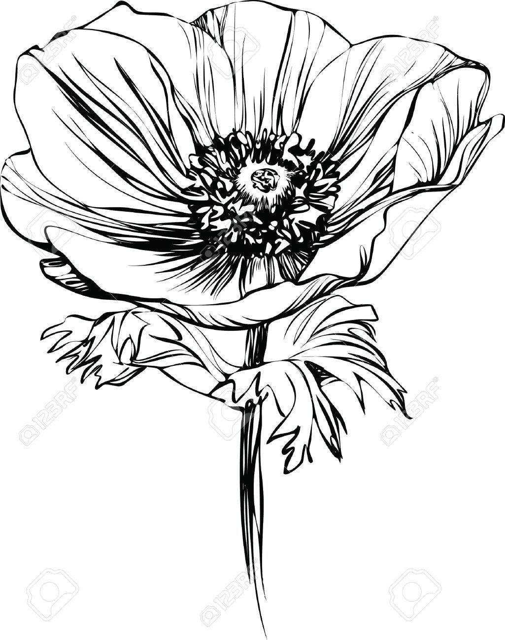 Stock Photo Dessin De Pavot Comment Dessiner Une Fleur Et
