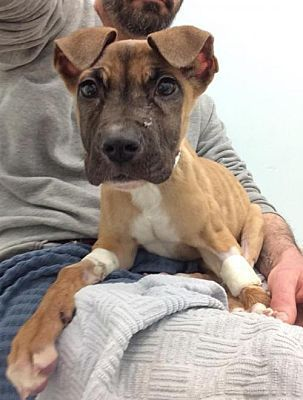 Pictures of a Boxer for adoption in New York, NY