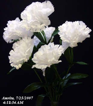 Carnation White Carnations White Carnation Beautiful Flowers Pictures