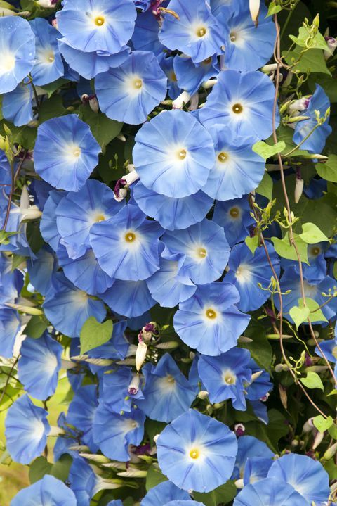 The Surprising Meanings Behind Your Favorite Flowers Blue Flowers Garden Morning Glory Flowers Flower Meanings