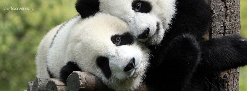 Ryan Gosling Hey Girl Wallpaper Pandas Animals Facebook Timeline Cover Picture Animals