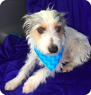 Terrier (Unknown Type, Small) Mix Dog for adoption in