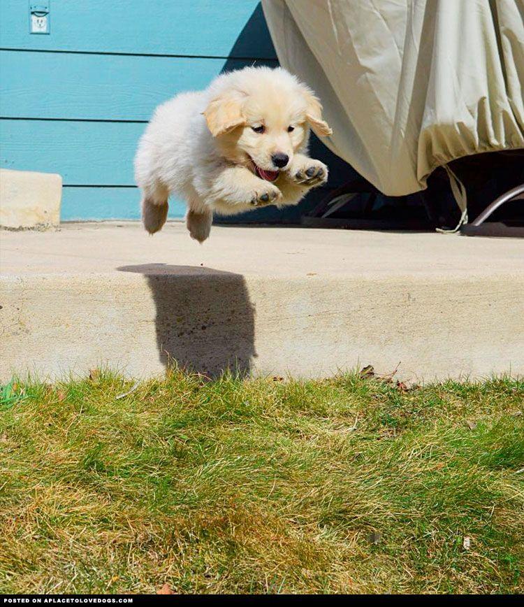 It S Not Plain It S Not Bird It S A Puppy Golden Flying