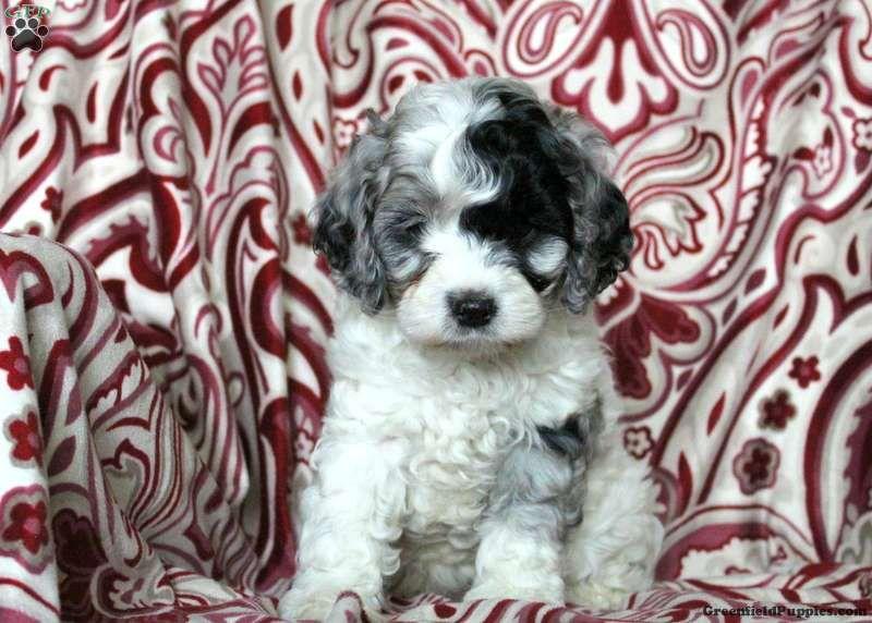 Blue Cockapoo Puppy For Sale in Pennsylvania Cockapoo