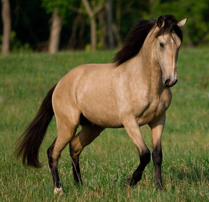 Buckskin Horse Animals Buckskin Horses Iberian Horse Lusitanian Horse Portugal Lusitano Horse Horses Buckskin Horse