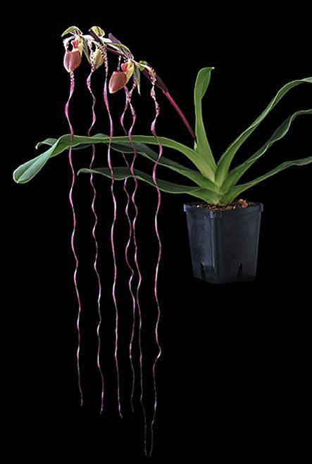Orchid Species Paphiopedilum sanderianum Bloom Size 1