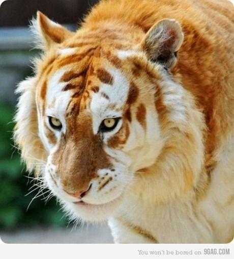 Rare Golden Tiger