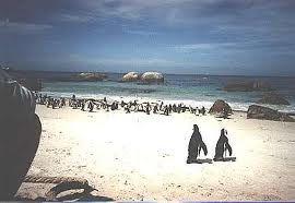 Il pinguino africano è l'unica specie di pinguino che si riproduce in Africa e la sua presenza ha dato il nome alle isole dei Pinguini.