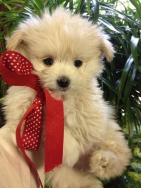 Maltese Pomeranian Puppy Dog Pictures Cute Dogs Pet Dogs Puppies