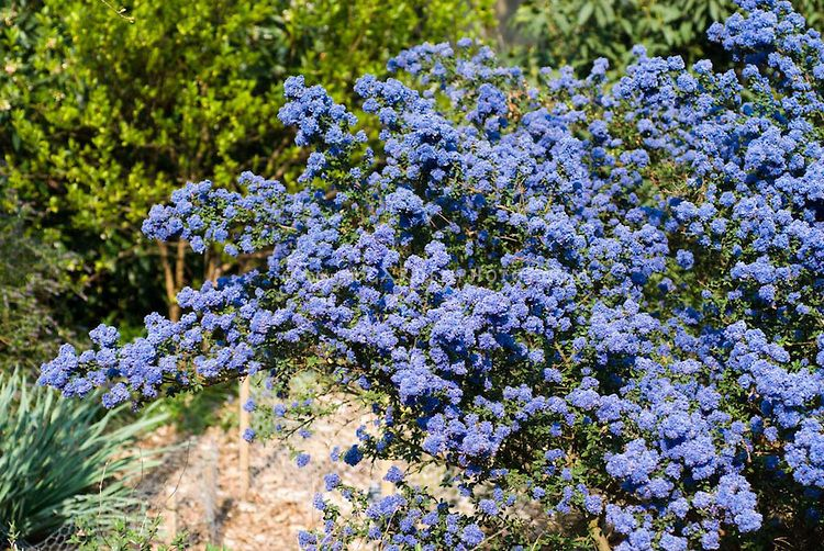 Ceanothus dark star showing blue flowered entire shrub for Blue flowering bush