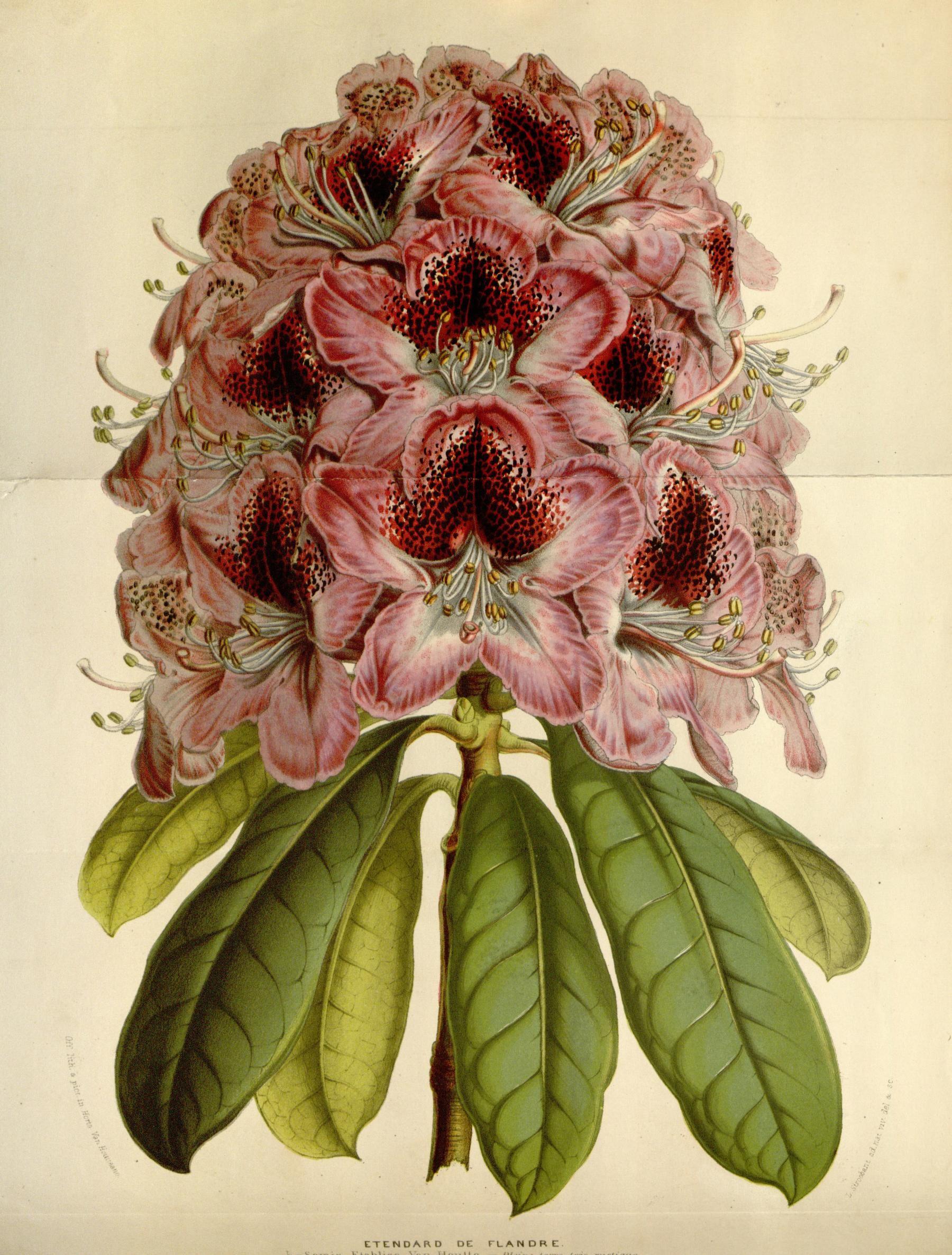 Rhododendron Etendard de Flandre