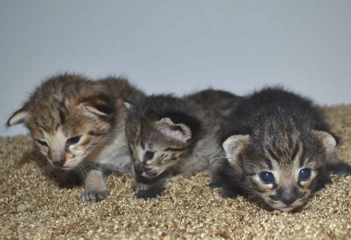 Pin By Amanukatz On Savannah Kittens Pictures Savannah Kitten Savannah Kittens For Sale Savannah Cat