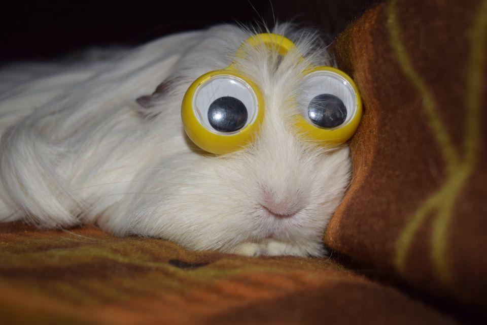 картинки морской свинки с большими глазами чего-то знаю