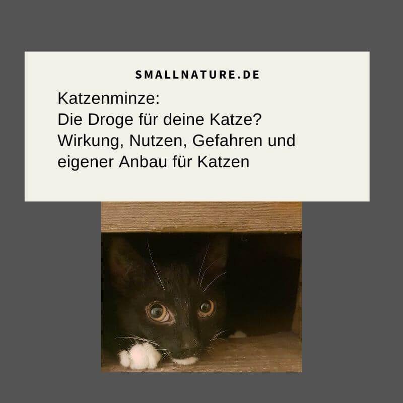 Katzenminze Fur Katzen Wirkung Nutzen Gefahren Anbau Katzen