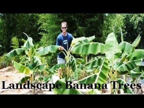 Buy Basjoo Cold Hardy Banana Tree | Basjoo Cold Hardy Banana Trees | Basjoo Cold Hardy Banana Tree Sale