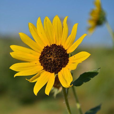 Helianthus Annuus Wild Sunflower Seed Balls For Fall With Images Wild Sunflower Flower Essences Organic Plants