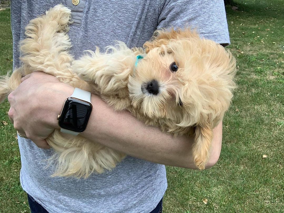 When Dad Gets Home I Just Wanna Be Held Cavapoophoebe Cavapoo Cavoodle Cavalierkingcharlesspaniel Poodle Doodle Cute Animal Memes Poodle Dog Smells