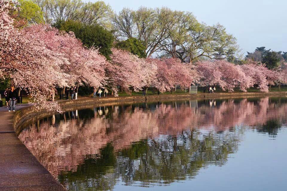 Cherry Blossoms Dc National Parks Cherry Blossom Cherry Blossom Festival