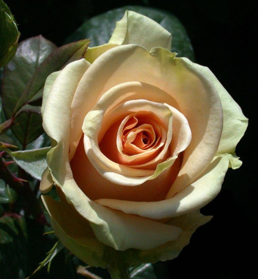 Marilyn Monroe Rose Hybridtearoses Em 2020 Rosas Flores