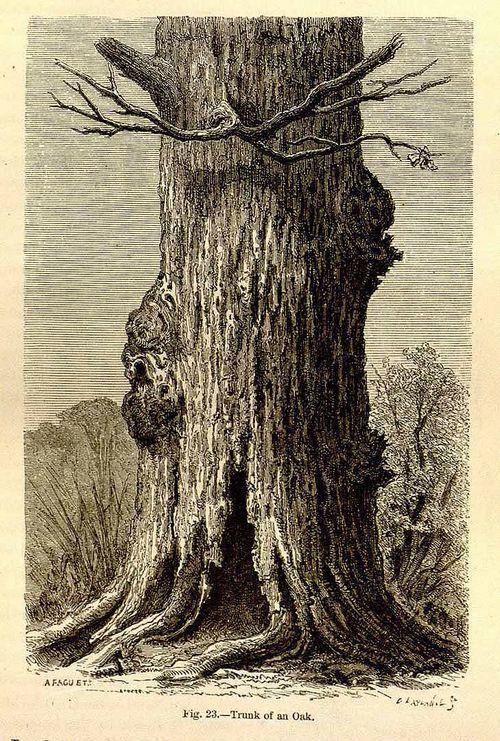 Common oak - A. Faguet - 1867
